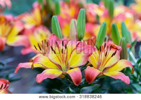 Pink Lily Flowe At Winter Or Spring Day. Lovely Spring Lily Flowers. Spring Flower Landscape. Spring