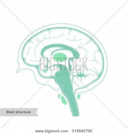 Vector Isolated Illustration Of Human Brain Components Detailed Anatomy. Medical Infographics For Po