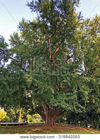 Gingko Biloba Tree In Jankovic Castle Park Or Drvo Gingko Biloba U Perivoju Dvorca Jankovic - Daruva