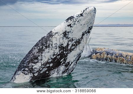 Grey Whales Surface In Baja California On Mexico's Pacific Coast