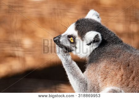 Ring Tail Lemur. This Is A Side View Of A Ring Tail Lemur On A Tree