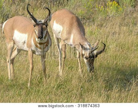 Close Up Of Two Pronghorn Antelope Facing Camera At Yellowstone