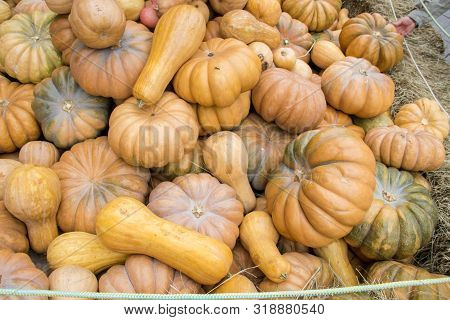 Many Pumpkins On Hay At The Farmers Market. Hand Of A Customer. Thanksgiving Day And Harvesting Conc