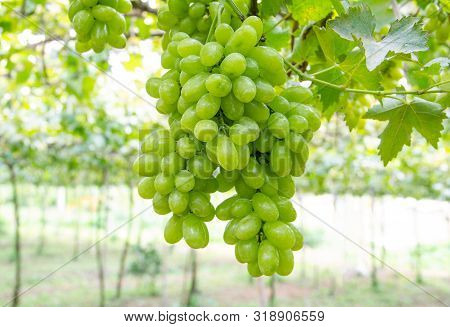 A Bunch Of Green Grapes In Vineyard