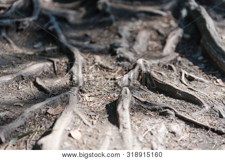 The Roots Are Crawling. Roots Grow Across The Trail. Roots In The Forest. Tree Roots Close-up. Origi