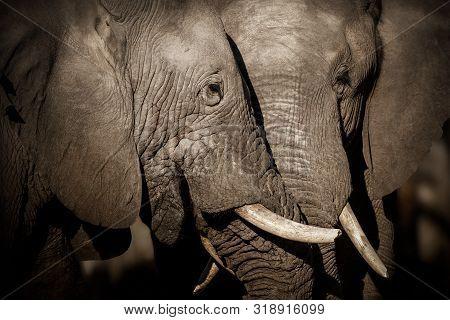Amazing African Elephants. Huge Elephants Male In Front Of The Camera. Wildlife Scene With Dangerous