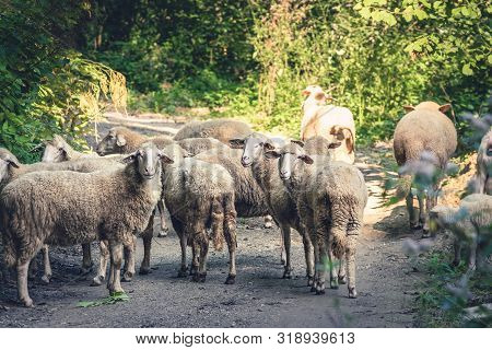 Close Up Of Sheep On Road In Nature. Amazing Nature. Close Up Of A Sheep In Nature. Sheep. Nature. S