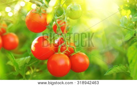 Tomatoes Fresh and ripe organic Cherry tomato plant growing in a garden. Diet, dieting, healthy vegan food. tomato berry hanging on a branch. Bio, organic healthy food. Agriculture. Ketchup ingredient