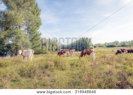 Red And White Young Cows Grazing On The Floodplains Of The Dutch River Waal Near The Village Of Vure