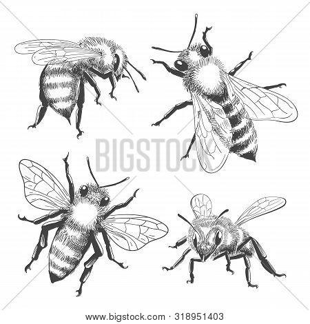 Bee Engravings. Honey Bee Animals Drawings Isolated On White Background, Vintage Black Vector Honeyb