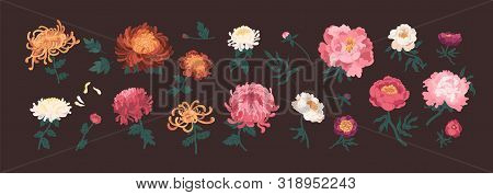 Bundle Of Blooming Peonies And Chrysanthemums Isolated On Black Background. Set Of Flowers And Decor