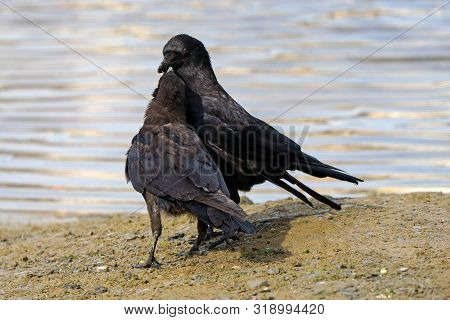 An Adult Carrion Crow Passing Food Into The Beak Of Its Chick