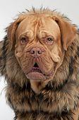 Portrait of dog wearing raccoon fur coat poster