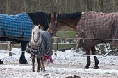 Three Horses wearing blankets in cold wintertime poster