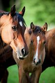 Arabian mare and foal in meadow poster