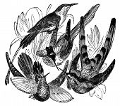 An engraved illustration of a variety of bird isolated against white. Created in 1887. poster