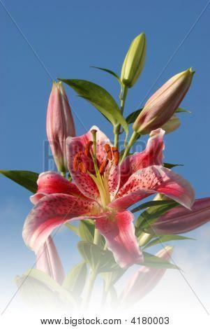 Stargazer Lilies With Blue Sky