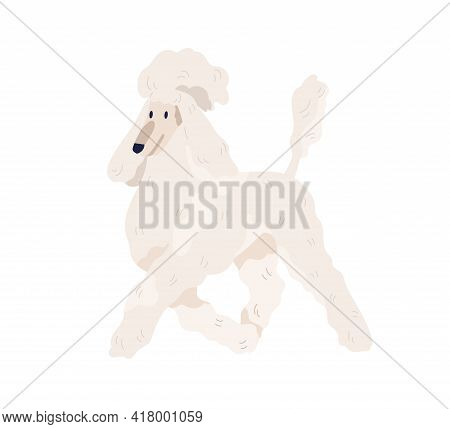 White Royal Poodle Walking. Standard Pudel Breed With Elegant Haircut. Friendly Purebred Dog Going W