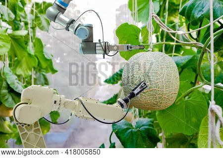 Close-up Smart Robotic Gripping And Scanning Arms That Installed An Inside On Melon Greenhouse Garde
