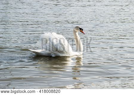 Areas Inhabited By A Large Number Of Wild Swans, As Well As Wild Waterfowl In The Wild, The Swan In
