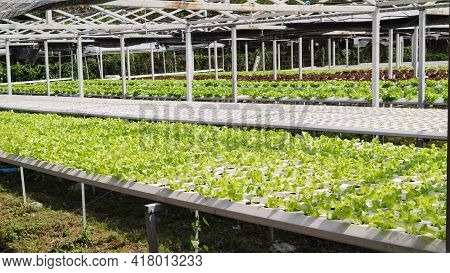 Hydroponic Freshness Vegetable In A Garden, Commercial Farming Sustainable, Advertisement Background