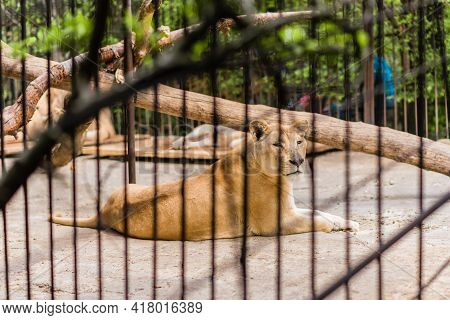 Close-up Lioness In A Zoo Cage, The Animal Sits In A Cage, Lioness At The Zoo