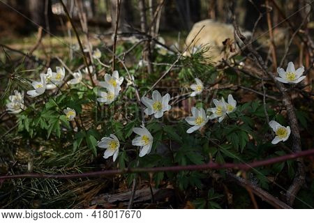 Windflower (anemone Nemorosa) Blossoms In A Meadow In Spring