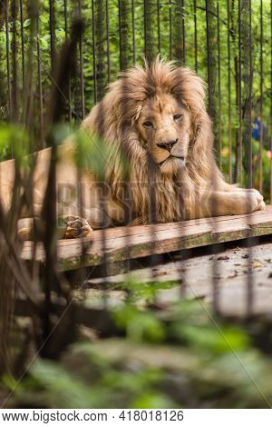 Lion In A Zoo Cage, The Animal Sits In A Cage, Lioness At The Zoo