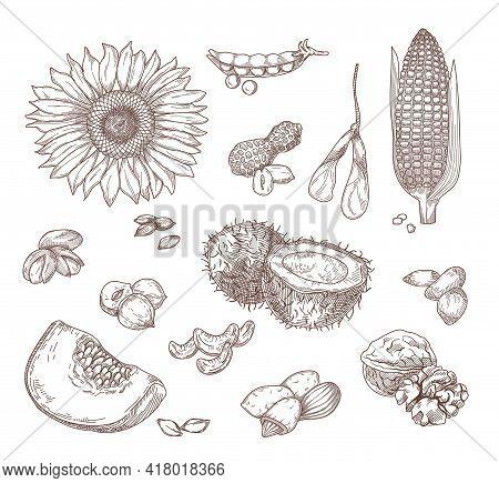 Hand Drawn Sketches Of Nuts And Seeds. Sunflower, Corn, Coconut, Hazelnut, Walnut, Peanut, Almond, C