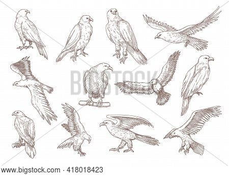 Eagle Birds Hand Drawn Sketches. Falcons, Hawks And Other Predator Birds Sitting And Flying Vector E