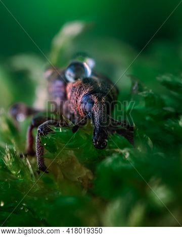 Macrophotography Of A Snout Beetle. Bug In The Moss