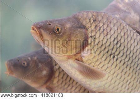 Carp Swimming In A Water. Flock Of Fish, Freshwater Carps In A Store Aquarium