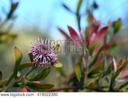 Australian Native Purple Coneflower, Isopogon Cuneatus, Family Proteaceae. Endemic To Heathland And