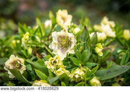 Blooming Cream Helleborus In The Park, Spring Day