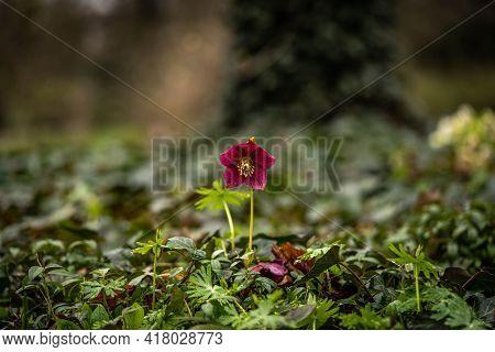 Beautiful Helleborus Flower In A Fabulous Atmosphere