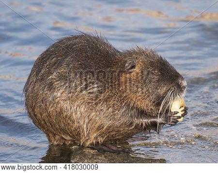 Close Up Coypu, Myocastor Coypus Or Nutria Eating Vegetable At Stone In River Water, Golden Hour Nat