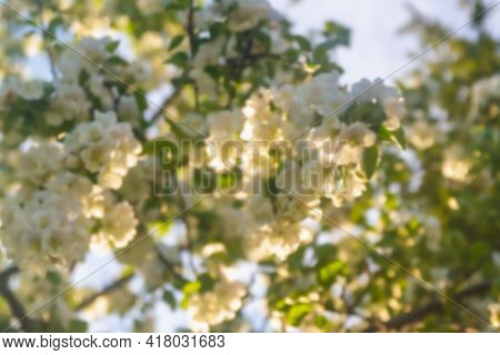 The Flowering Trees In The Apple Orchard Are Covered With White Fragrant Flowers In Spring.