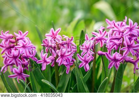 Hyacinthus Orientalis In Garden, Common Hyacinth In Spring. Magenta Flowers, Floral Pattern, Nature