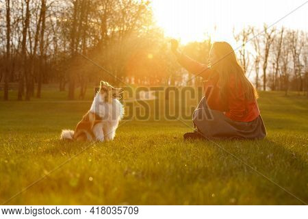 The Owner Training The Dog In The Park At Sunset. Woman And Sheltie On A Walk.