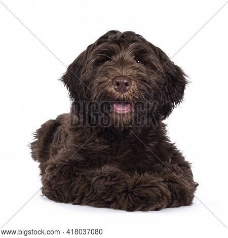 Adorable Dark Brown Cobberdog Aka Labradoodle Pup, Laying Down Facing Front With Mouth Slightly Open