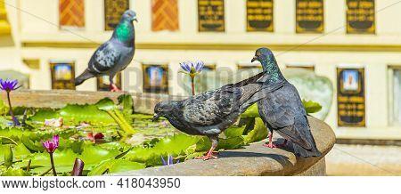 Pigeons Drinking Water Wat Don Mueang Phra Arramluang Bangkok Thailand.