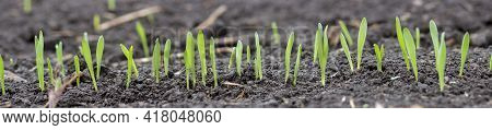 Panorama Of Young Sprouts Of Barley Or Wheat. Green Leaves Of Germinating Grain From The Soil In Agr