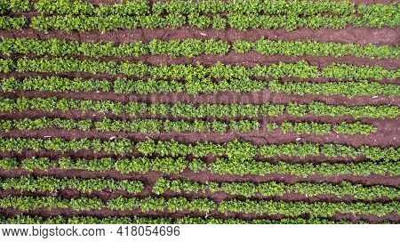 Aerial View Green Ripening Soybean Field. Agricultural Landscape. Beautiful Green Soy Fields Growing