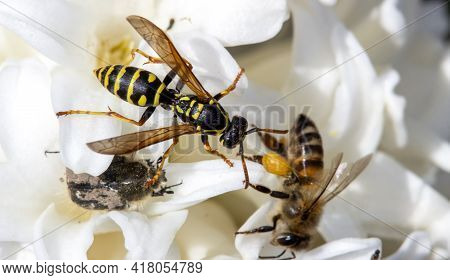 Large Wild Wasp On A Single Flower With A Bee And Tropinota Hirta.