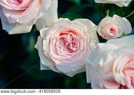 Pink Rose On A Wooden Background Single Pink Daisy Rose In The Garden Fresh Flower Field Beautiful P
