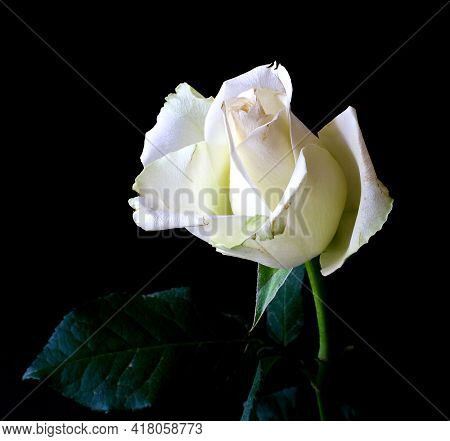 White Rose On White Beautiful White And Pink Rose With Background Nature New Picture Single Flower B
