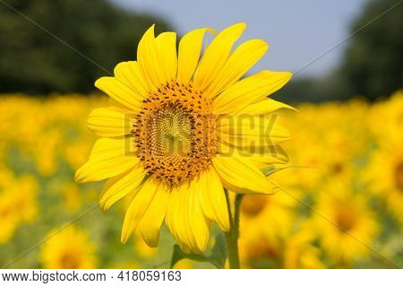 Yellow Sunflower In The Field Beautiful Flower With Green Leaves Yellow Summer Bloom Blossom Fragile