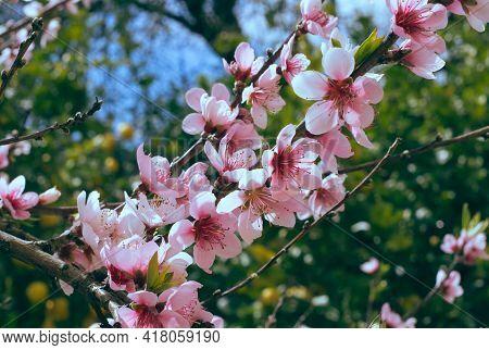Pink Cherry Blossoms Cherry Blossom Beautiful Plant Bloom Blossom Nature Fresh Flowers Japan Season