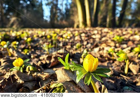 Blooming Yellow Rancher Flower In Spring In A Meadow In Poland