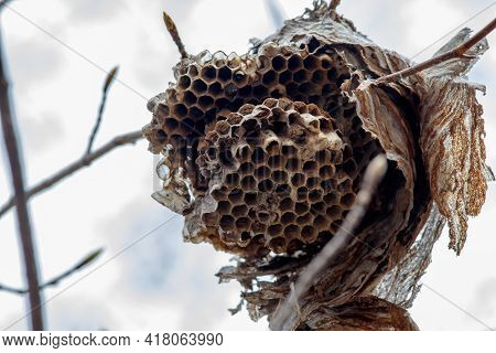 A Close-up View Of A Paper Wasp Nest That Has Been Abandoned And Broken Open. The Insect Nest Hangs